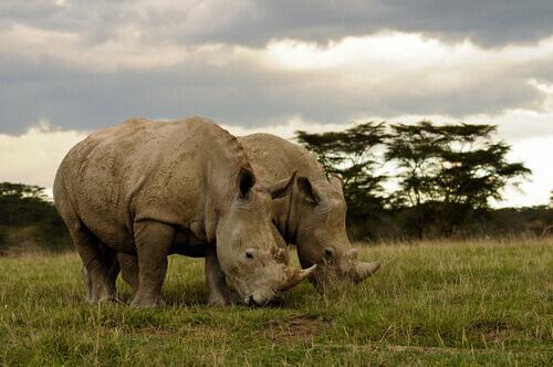 Morre um dos 5 rinocerontes brancos do Norte que restam no mundo