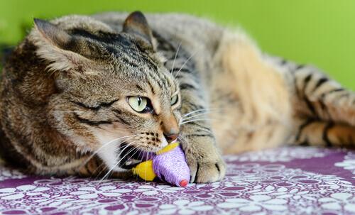 A Síndrome de pica nos gatos