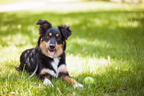 Cão emitindo sinais de calma