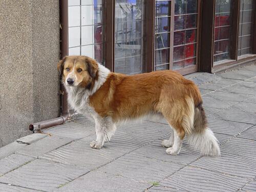 Uma cadela caminhou uma distância de mais de 50 quilômetros para encontrar sua casa