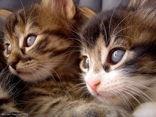 Derrubando mitos sobre os gatos