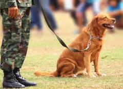 Uso de cães em guerras