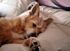 O que os cães sonham?