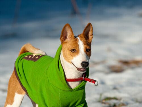 Cão com roupa