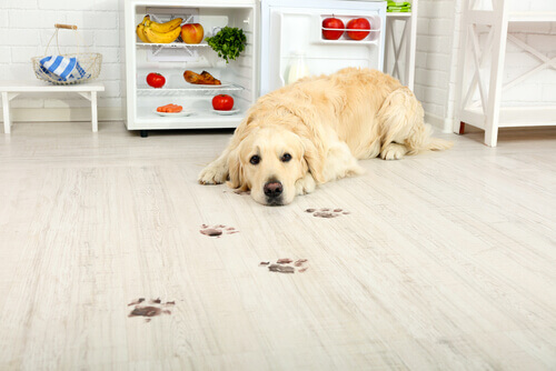 Labrador deitado