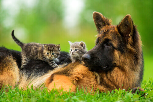Uma cadela adota filhotes de gato