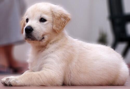 Os cães são como os humanos os educam