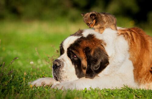 Por que cães pequenos vivem mais do que os grandes?