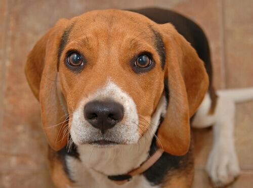 Por que os cães choram: conheça as razões principais