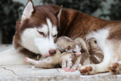 Uma cadela enterrou seus filhotes vivos para salvá-los.