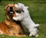 Cães lambem