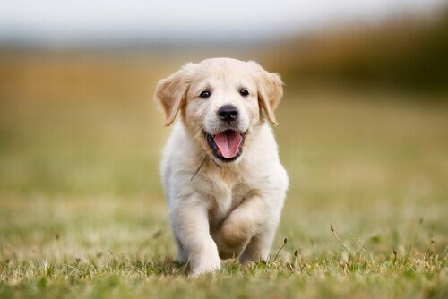 Comportamento canino