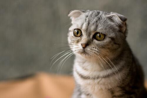 Por que você deve esterilizar o seu gato