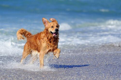 golden-retriever-praia
