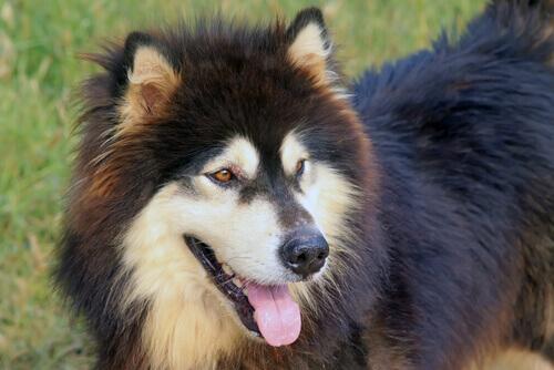 Seu cão sofre de halitose? Aprenda a combatê-la