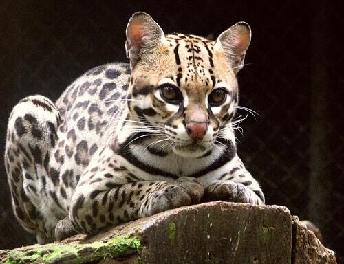 Jaguatirica: um felino muito precioso