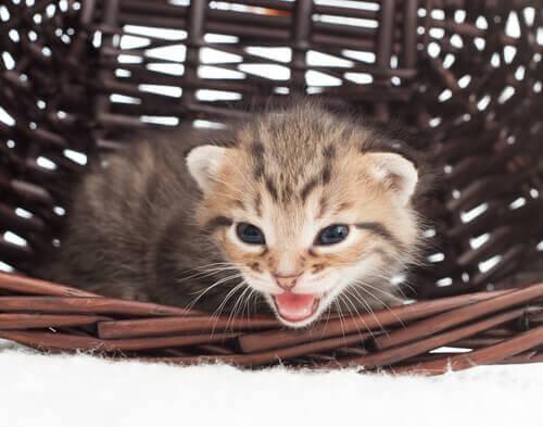 Gato miando