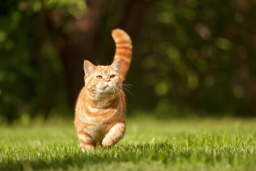 Gato correndo na grama