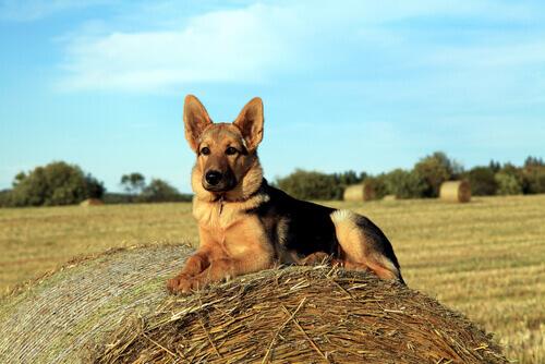 Um cachorro que salvou a sua família de um ataque é abandonado