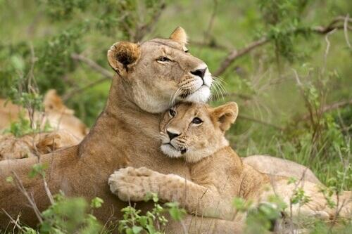 Leoa com filhote