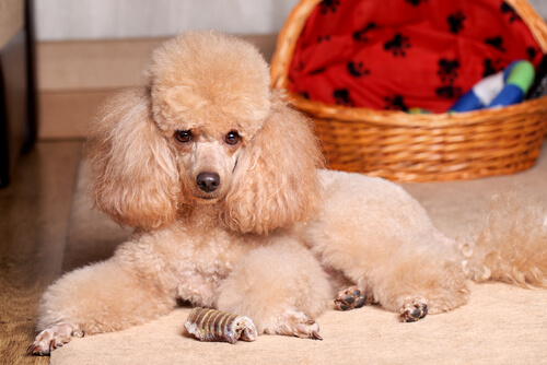 O Caniche ou Poodle, um companheiro leal e carinhoso