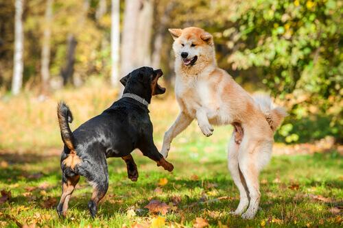 Cães brigando