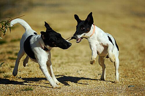 cães-brincando