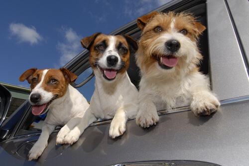 Sabia que os cães podem ser canhotos?