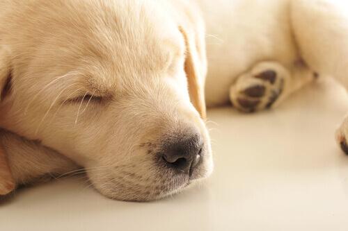 Por que os cães choram enquanto dormem?