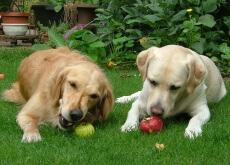 Cães comendo frutas