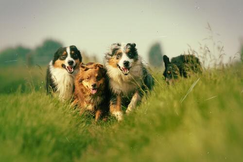 cães-correndo