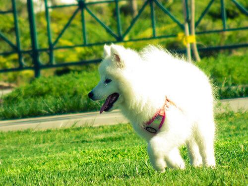 cão-branco