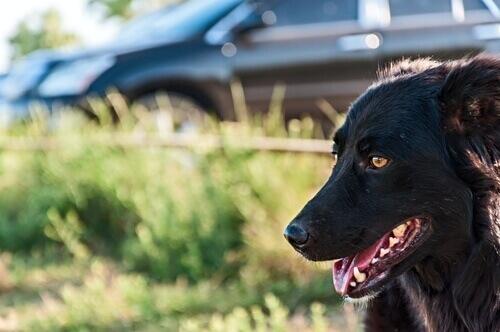 Como evitar que um cão persiga veículos