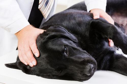 cão-com-artrose2