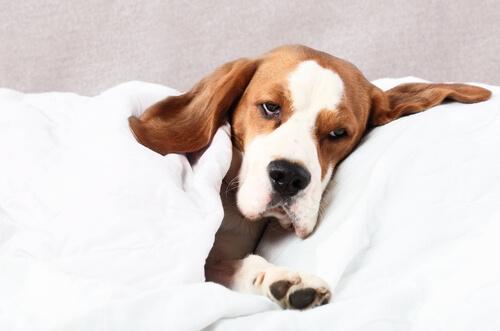 cão-doente