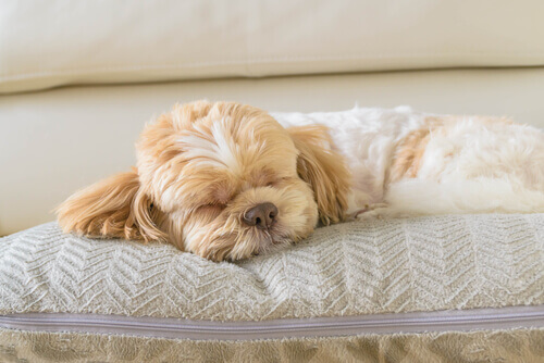 cães choram enquanto dormem