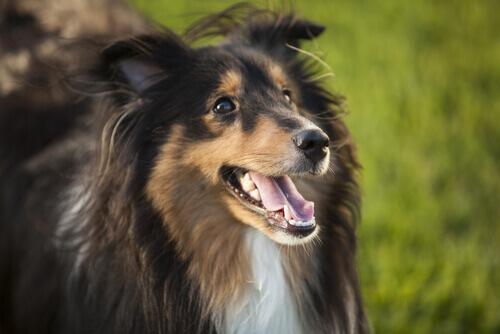 cão-fala