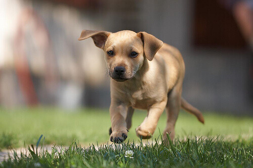 cão-salto