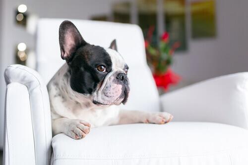 Buldogue no sofá