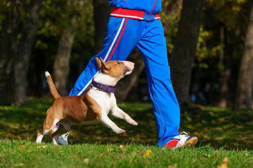 Cão correndo com dono