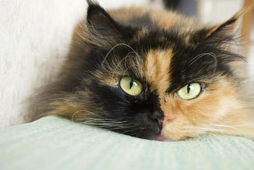 Gato colorido