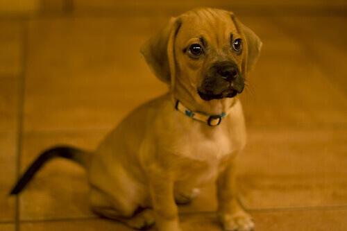 Cães de desenho: raças criadas artificialmente