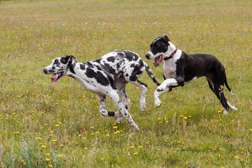 Cachorros correndo