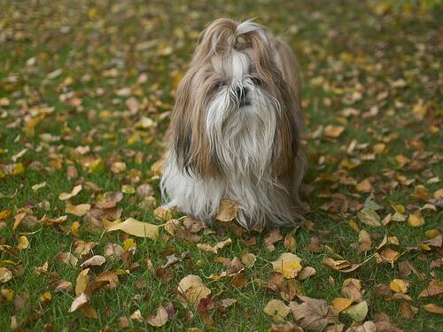 O Shih Tzu, um cão do Tibete