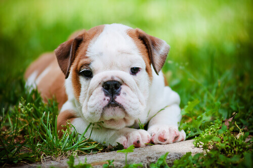 O xilitol, um veneno para os cães
