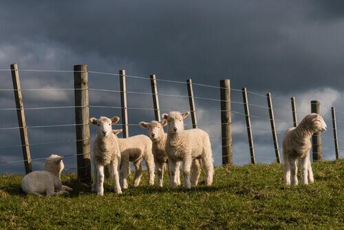 A inteligência dos animais de fazenda