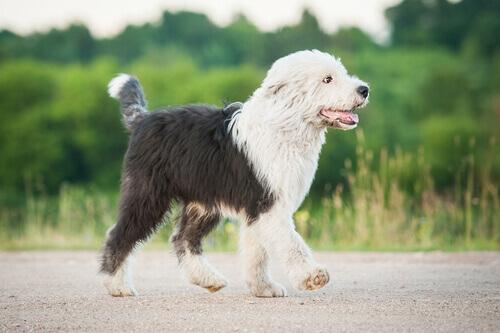 Bobtail, uma curiosa raça de cães