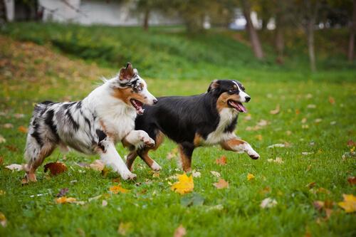 cães-gostam-de-perseguir