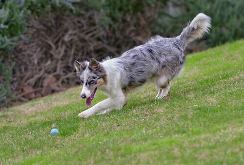 Como ensinar ao cão o exercício de pegar e trazer
