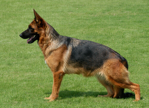 cão-serviço
